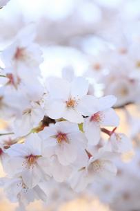 千鳥ヶ淵の桜のアップの写真素材 [FYI04743907]