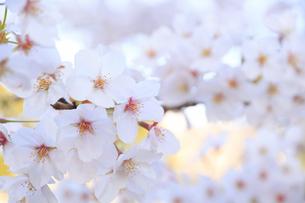 千鳥ヶ淵の桜のアップの写真素材 [FYI04743908]