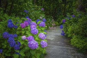 紫陽花と道の写真素材 [FYI04744128]