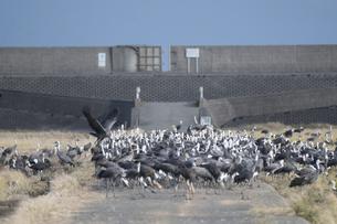 鹿児島県出水市 東干拓のツルの群れの写真素材 [FYI04744293]