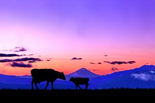 朝焼けの空に富士山のシルエットを背景に、高原の牧場で向き合う牛の親子のシルエットの写真素材 [FYI04744383]