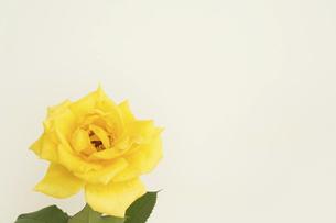 白背景の水滴が付いた黄色いバラの写真素材 [FYI04744465]