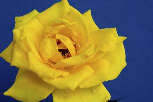 青背景の水滴が付いた黄色いバラの写真素材 [FYI04744466]