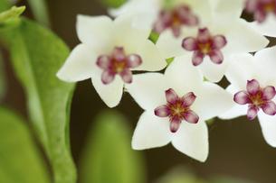 星の形をした白いカワイイ花 サクラランの写真素材 [FYI04744467]