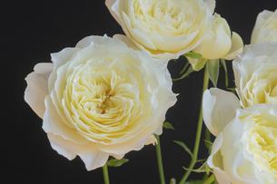 黒背景の白いバラの花の写真素材 [FYI04744473]