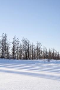 カラマツ林と雪の上の影の写真素材 [FYI04744477]