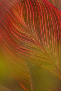 葉脈の模様の写真素材 [FYI04744520]