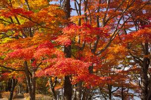 山中湖畔のモミジ紅葉の写真素材 [FYI04744839]