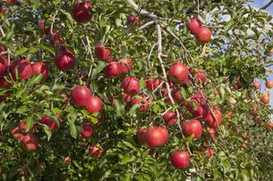 リンゴ あかぎの写真素材 [FYI04744842]