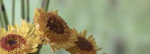トクサと菊のクローズアップ画像の写真素材 [FYI04745034]