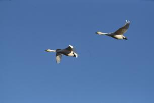 青空を飛ぶ白鳥の写真素材 [FYI04745211]
