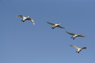 青空を飛ぶ白鳥の写真素材 [FYI04745214]