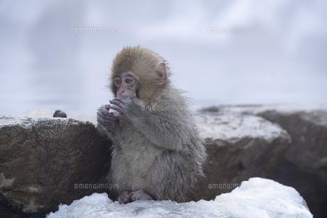 地獄谷温泉の子猿の写真素材 [FYI04745218]