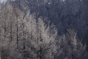 霧氷つくカラマツの写真素材 [FYI04745219]