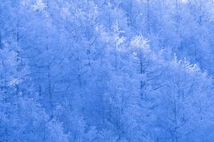 菅平霧氷のカラマツの写真素材 [FYI04745220]