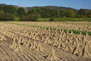 稲わら立ての写真素材 [FYI04745292]