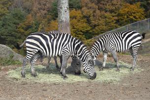 草を食べる三頭のグラントシマウマの写真素材 [FYI04745361]
