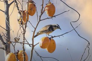柿の木の枝にとまるツグミの写真素材 [FYI04745542]