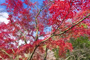 紅葉の修善寺虹の郷の写真素材 [FYI04745650]