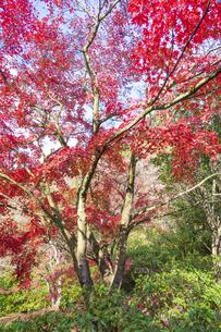 紅葉の修善寺虹の郷の写真素材 [FYI04745651]