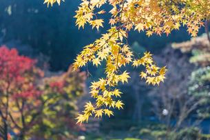 紅葉の修善寺虹の郷の写真素材 [FYI04745724]