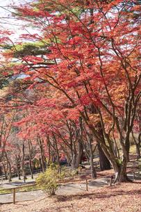 紅葉の修善寺虹の郷の写真素材 [FYI04745742]