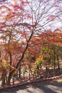 紅葉の修善寺虹の郷の写真素材 [FYI04745747]