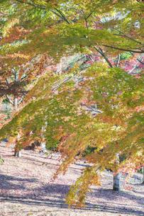 紅葉の修善寺虹の郷の写真素材 [FYI04745753]