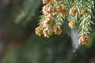 スギの雄花の写真素材 [FYI04745876]