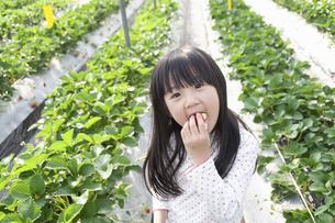 いちご狩りを楽しむ女の子の写真素材 [FYI04745924]