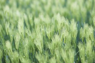 麦の穂の写真素材 [FYI04745946]