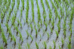 風にたなびく稲の写真素材 [FYI04745949]
