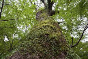 下から見上げた大樹の写真素材 [FYI04745962]