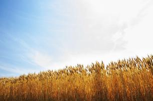 麦畑と空の写真素材 [FYI04745971]