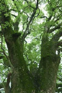 苔むす大樹の写真素材 [FYI04745974]