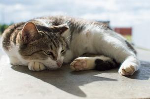 背中に太陽の光を浴びてのんびりしているキジトラ模様の可愛い猫の写真素材 [FYI04746032]