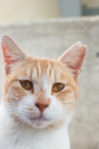 こちらをじっと見つめる可愛い茶トラ模様の猫の写真素材 [FYI04746033]