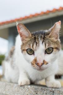 こちらをじっと見つめるキジトラ模様の可愛い猫の写真素材 [FYI04746037]