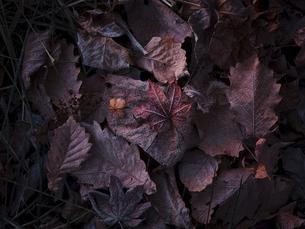 霜がついた落ち葉の写真素材 [FYI04746162]