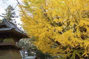 茨城県、西蓮寺の大銀杏の写真素材 [FYI04746192]