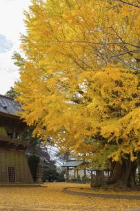 茨城県、西蓮寺の大銀杏の写真素材 [FYI04746193]