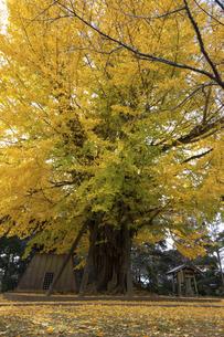 茨城県、西蓮寺の大銀杏の写真素材 [FYI04746194]