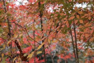 秋のドウダンツツジの写真素材 [FYI04746202]