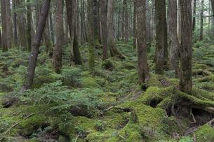 白駒の森 苔の森の写真素材 [FYI04746351]