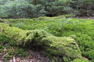 白駒の森 苔の森の写真素材 [FYI04746352]