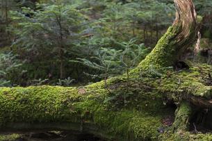 白駒の森 苔の森の写真素材 [FYI04746354]