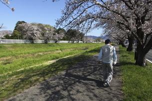 佐奈川堤の桜並木の写真素材 [FYI04746433]