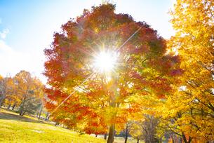 カエデの紅葉と太陽の写真素材 [FYI04746533]