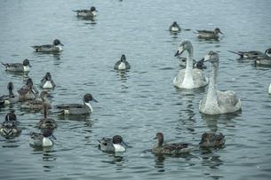 白鳥と鴨の写真素材 [FYI04746565]