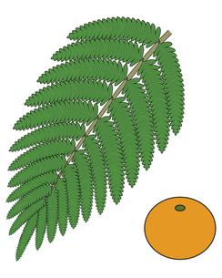 シダ植物の葉 ウラジロ みかん イラスト のイラスト素材 [FYI04746580]